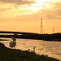 白鳥 夕暮れの長曽川