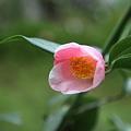 椿 西王母開花