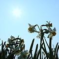 越前水仙(4)  青空と太陽