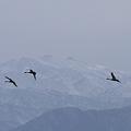 白山とコハクチョウ(1)