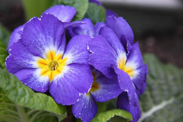 Photos: 20120327花いろいろ05