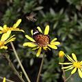 日陰の花、ツワブキ