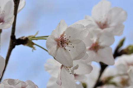 R369の桜・2