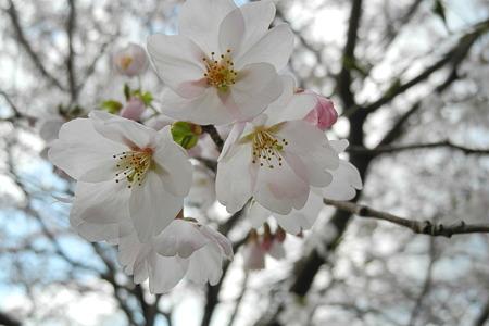 R369の桜・5