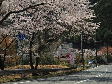 下北山村の桜・1