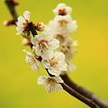 3月18日 梅と菜の花