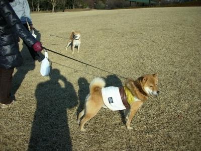柴犬見っけ