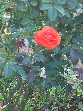 オレンジのバラの花言葉は「絆」