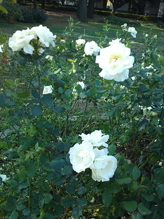 白いバラは「恋の吐息」