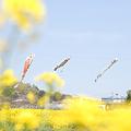 <菜の花畑*春風のゆくえ>