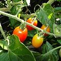 写真: トマトが色づいた
