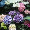 Photos: カラフル紫陽花