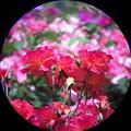Photos: 薔薇 (双眼鏡越しに撮影)