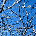 冬の白い 桜咲く