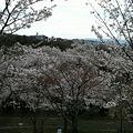 写真: 曇ってるけど、摂津峡の桜は...