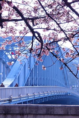 永代橋の大寒桜 2012  07